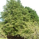 Cupressus lusitanica tree