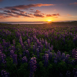 Lupine Carpet