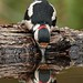 Thirsty work being a woodpecker... by Gary Neville