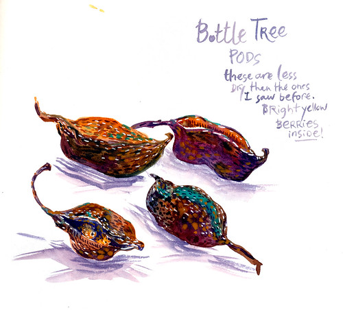 Sketchbook #108: Bottle Tree Fruits