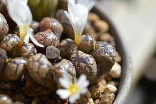 DSC_6560 Conophytum pellucidum S.W. Springbok コノフィツム ペルシダム
