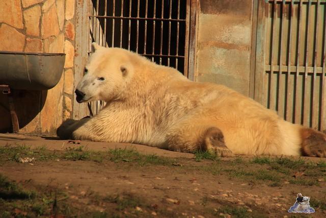 Eisbär Fiete im Sosto Zoo 01.10.2017 022