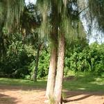 Casuarina glauca tree