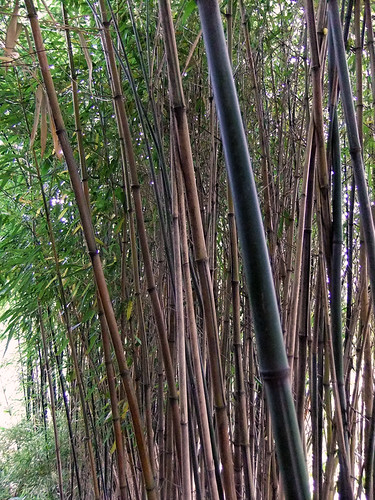 Bamboo stand in Hortus Botanical Garden in Amsterdam, Holland