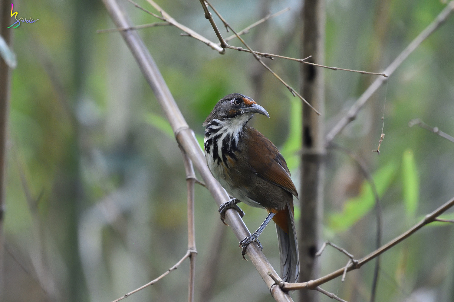 Rusty-cheeked_Scimitar_Babbler_2134