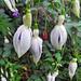 Fuschia flowers: 18.10.17.