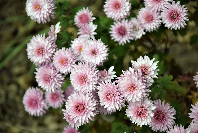 Asters 21.10 (1)