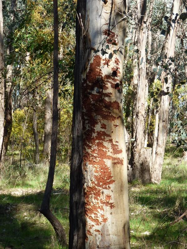 Bark chewing Blakley's Greenhill Dam Sept 2017