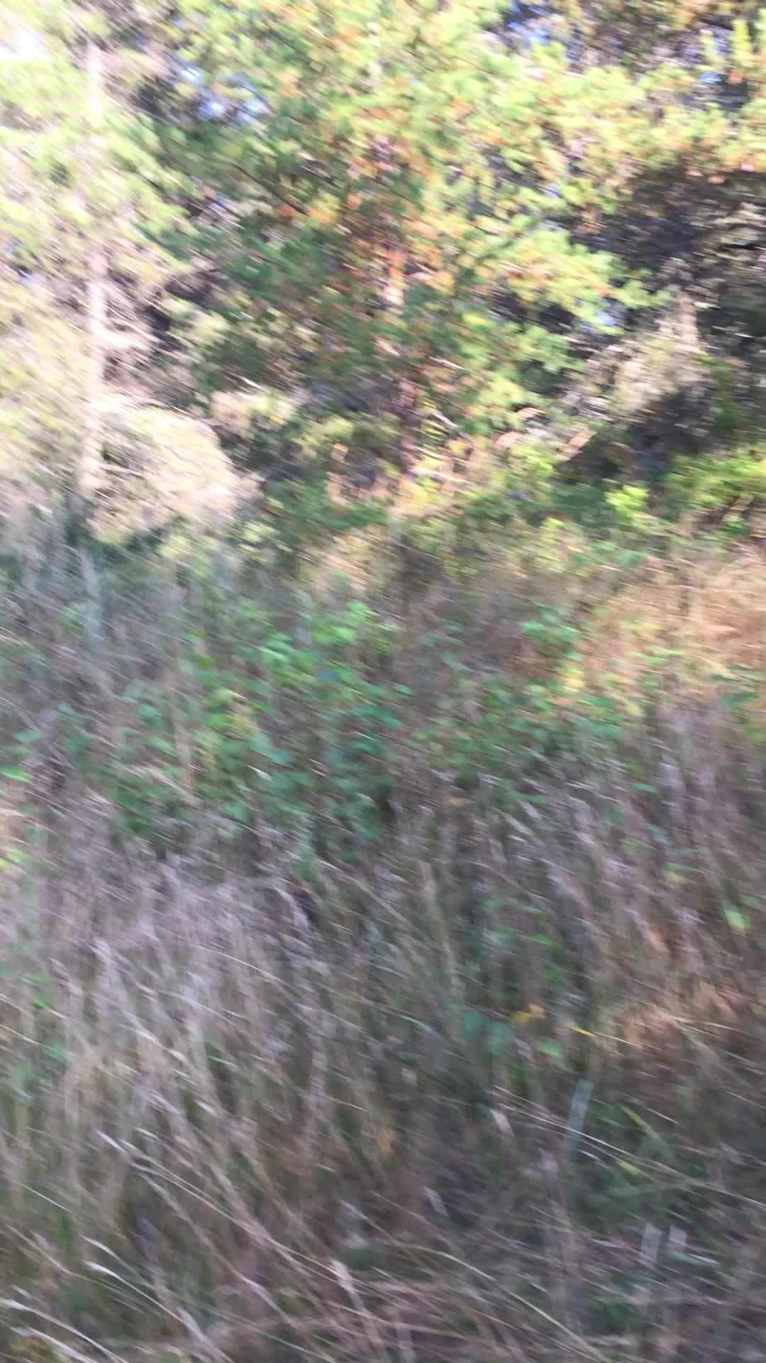 Tropical Kingbird calling - Whitefish Point