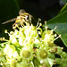 hoverfly on ivy
