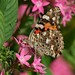 Painted Lady by Shutter_Hand