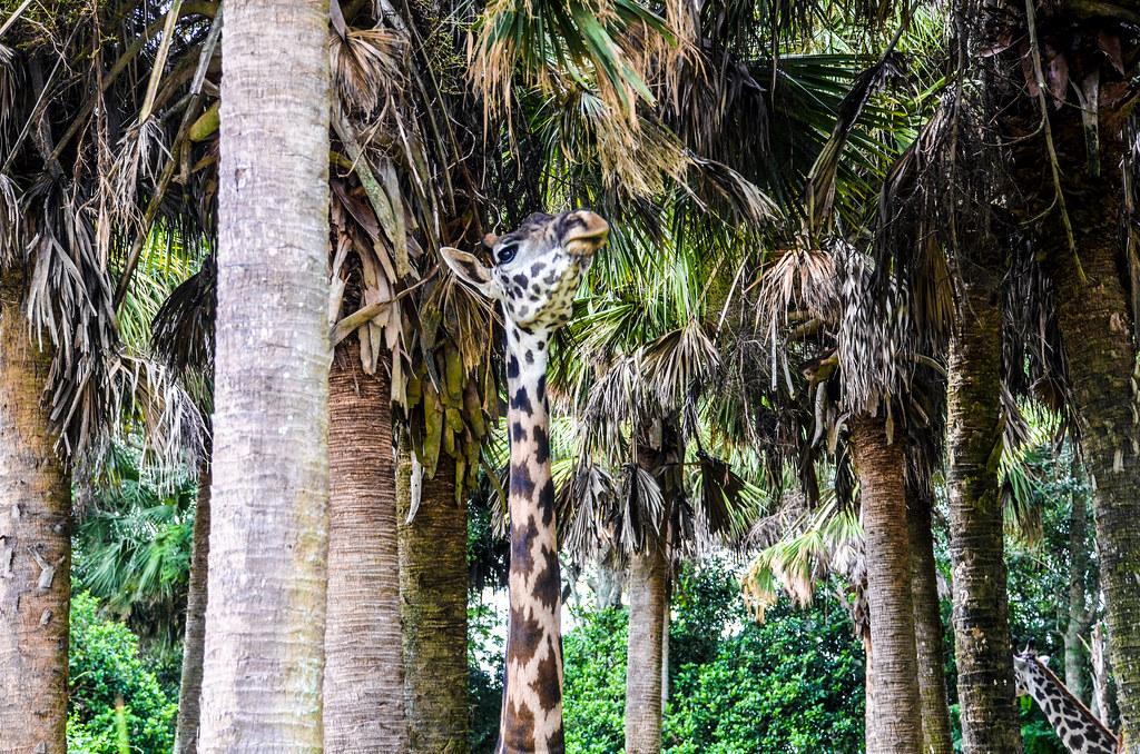 Giraffe or tree WAT AK