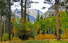 Aspen Grove, Early Autumn, June Lake, CA 2017