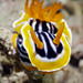 Scuba Diving Komodo 2017, head of a magnificent chromodoris nudibranch WM