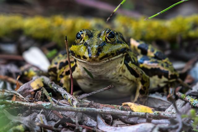 Edible Frog: Pelophylax kl. esculentus (Explore 10/15/2017)