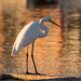 Great egret (aka great white heron) por apmckinlay