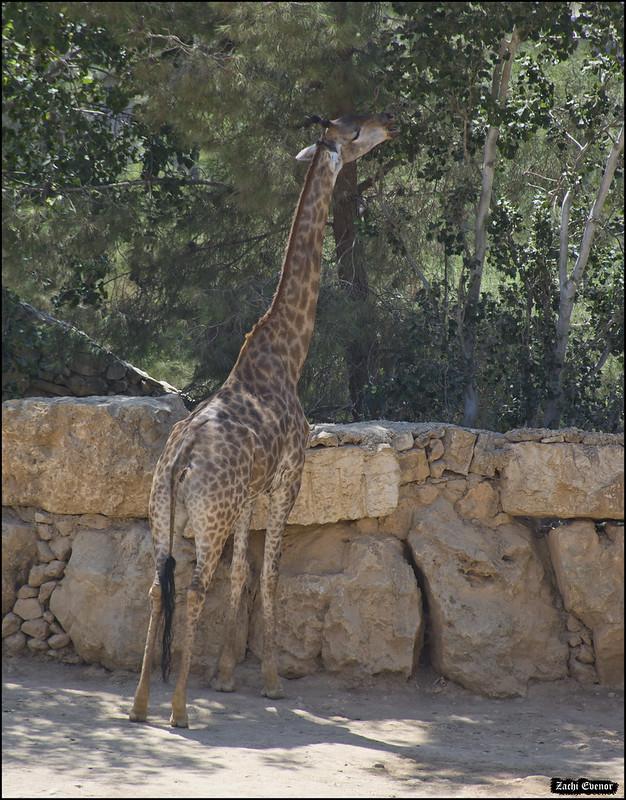 Giraffe in Jerusalem-Biblical-Zoo-IZE-622