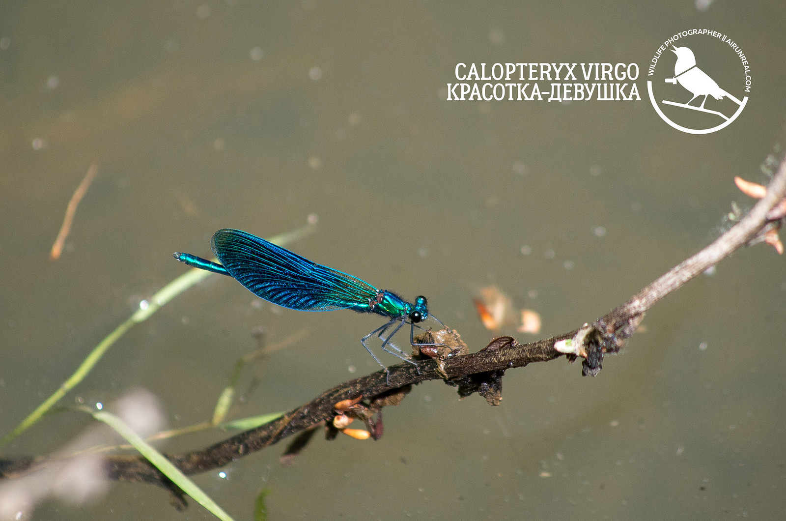 Calopteryx virgo // 20171007