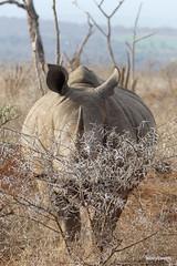 Walking with White Rhino, Mkhaya (11)