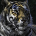 Face Portrait Of A Bengal Tiger
