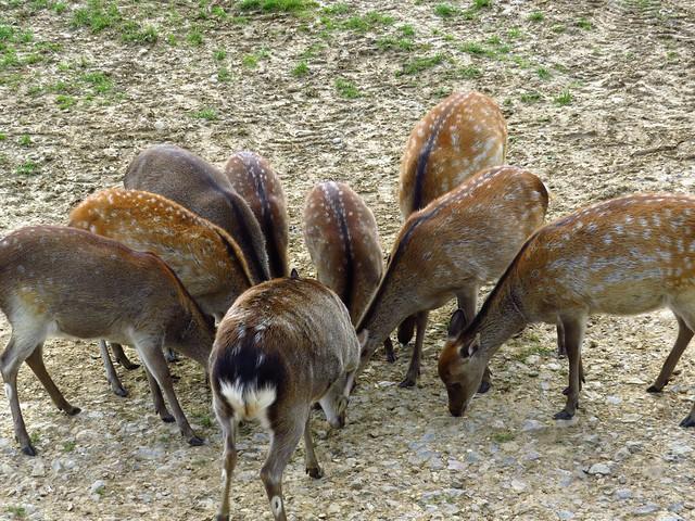Deer in Bucklebury Farm Park