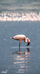 lone flamingo