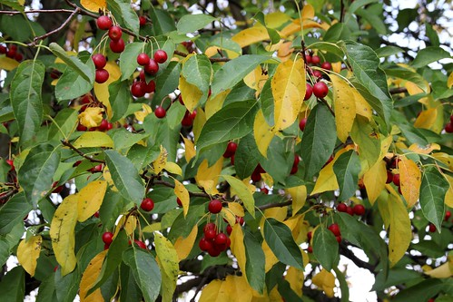 IMG_10975_Crabapples