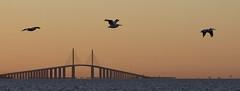 Sunshine Skyway Bridge Sunrise & White Pelican Inflight