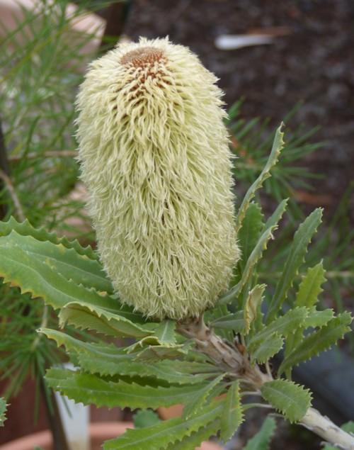 Banksia baueri 38007164462_863877a521_o