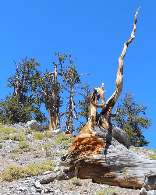 IMG_9813 Great Basin Bristlecone Pine