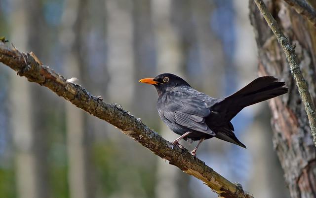 Blackbird. The best singer. ♥ #Finland #Spring