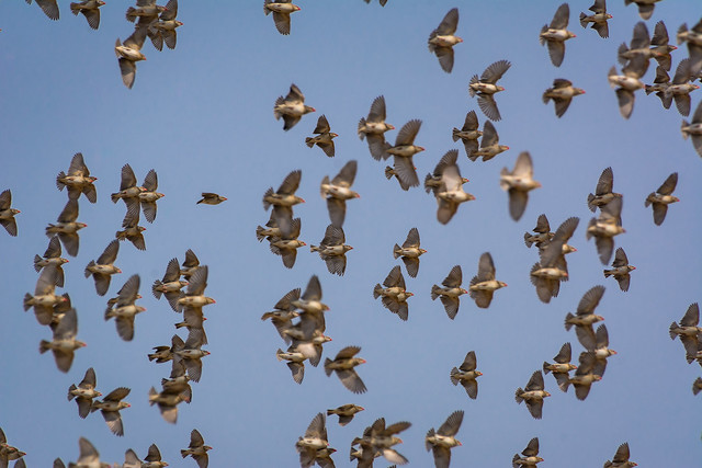 Flying flock of Red-billed quelea