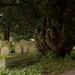 Yew | St. Thomas a Becket churchyard | Warblington-1