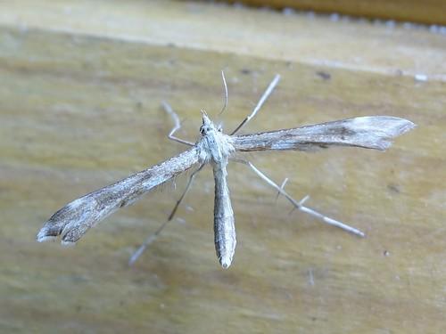 45.008 (1504) Yarrow Plume Gillmeria pallidactyla