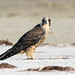 Peregrine Falcon on Beach with Watermark