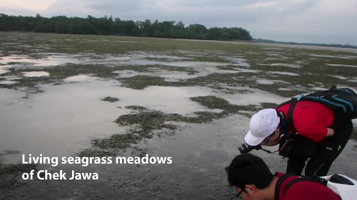 Living seagrass meadows of Chek Jawa, Nov 2017