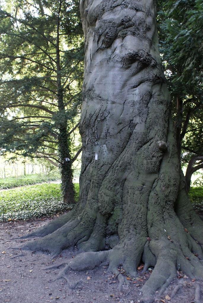 L'arbre au visage d'homme du le jardin botanique de Frederiksberg (Copenhague).