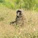 Baboon in the wild bush, Gurra, Omo Valley, Ethiopia