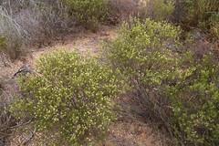 Diosma acmaeophylla (Rutaceae)