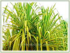 Pandanus Baptistii Variegated's (Gold-striped Screw Pine, Variegated Screw Pine, Compact Golden Screw Pine) golden-yellow leaves that are sandwished between the green margins, 1 Aug 2009
