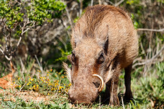 Warthog standing with his nose in the ground