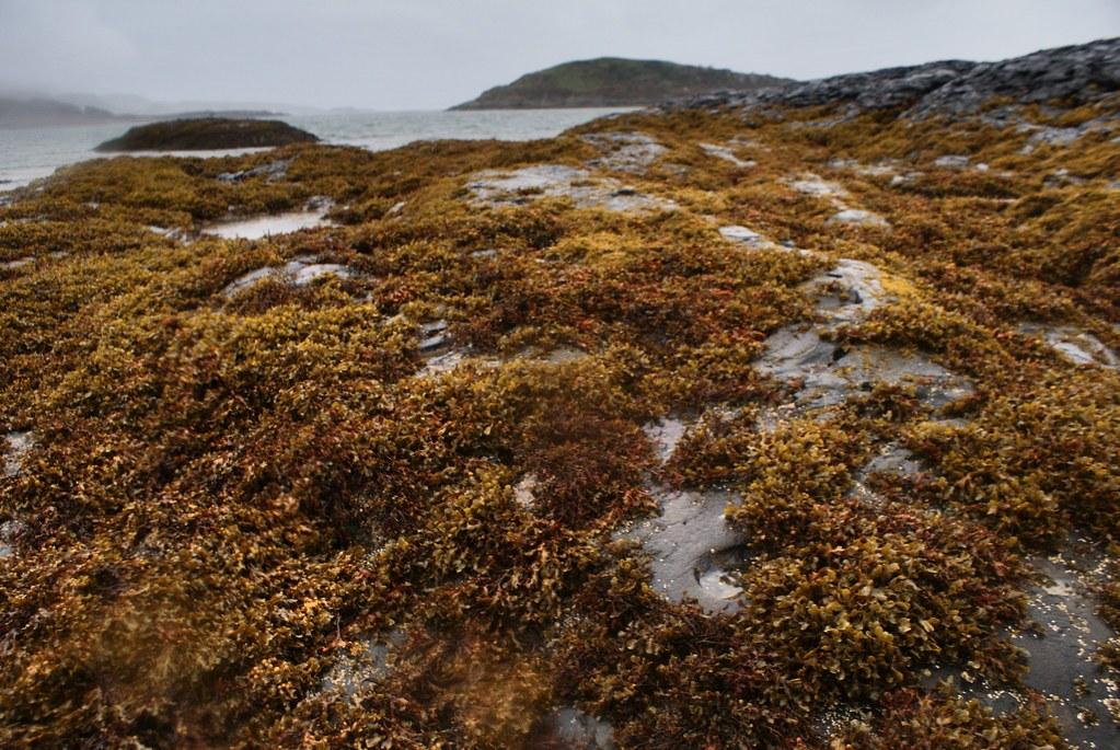 Rochers couverts d'algues dans les alentours d'Oban en Ecosse.