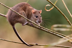 Common Rat