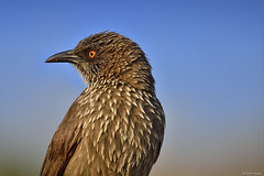 Arrow-marked babbler portrait
