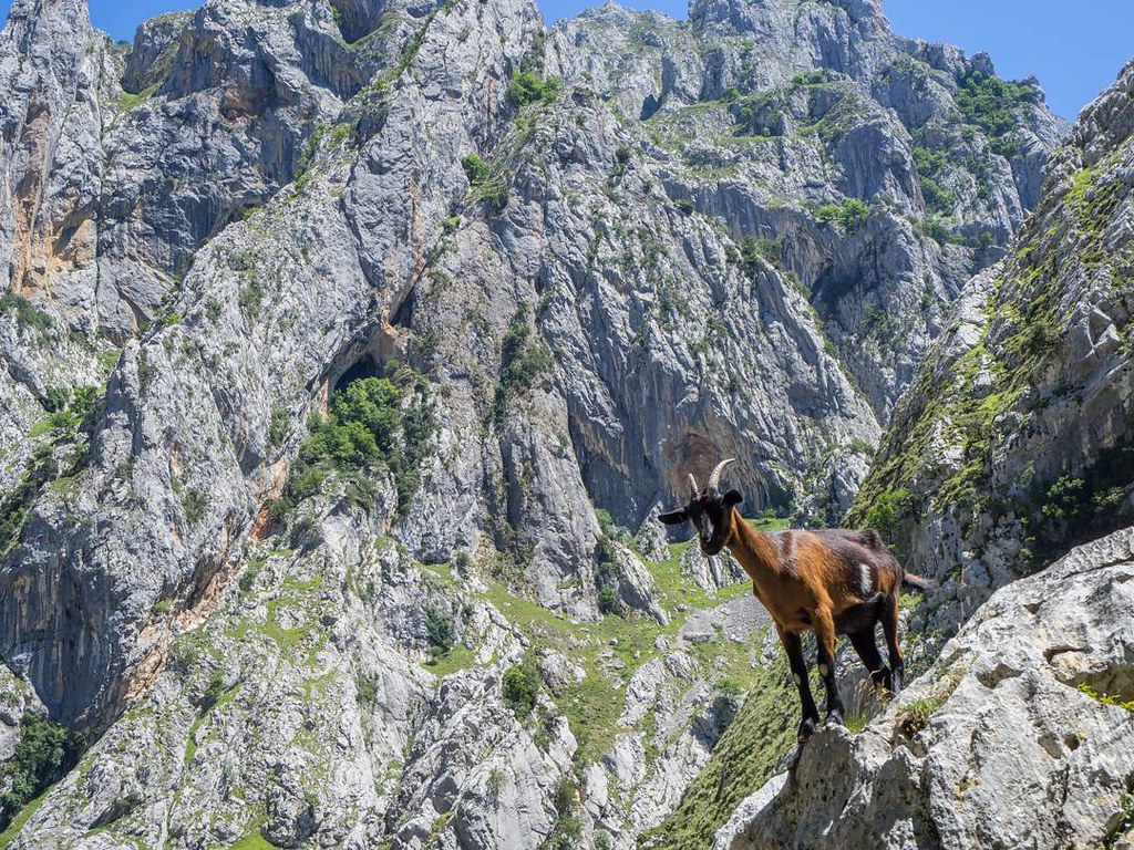 Cabra posando en Picos. #picosdeeuropa #Olympus #olympusomd #summer2017 #travelphoto #mountains #senderismo #photography