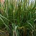 Reeds - or waterside plants?