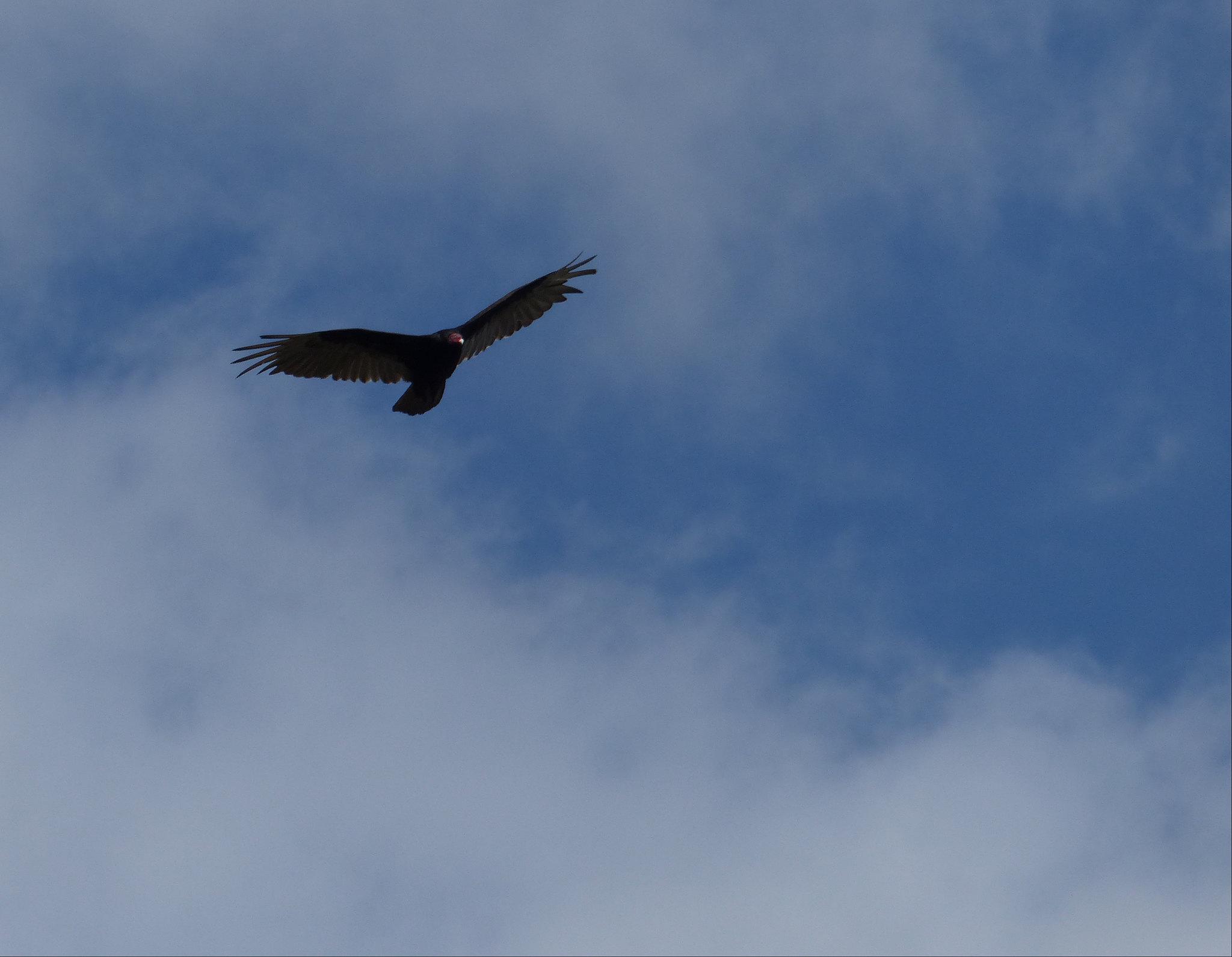 Bon Echo Provincial Park turkey vulture