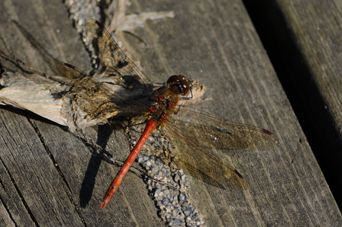 Sunning: male common darter dragonfly