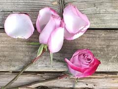 roses ending