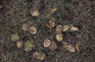 Hazel nut shells. Gwaelod garden. 9/9/1991
